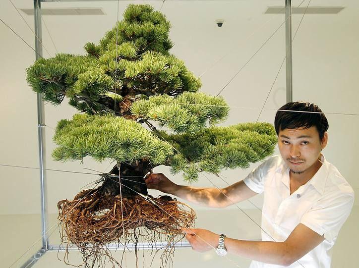 makoto azuma mit einem bonsai im drahtgestell foto wee trees bonsai bonsai baum bonsai. Black Bedroom Furniture Sets. Home Design Ideas
