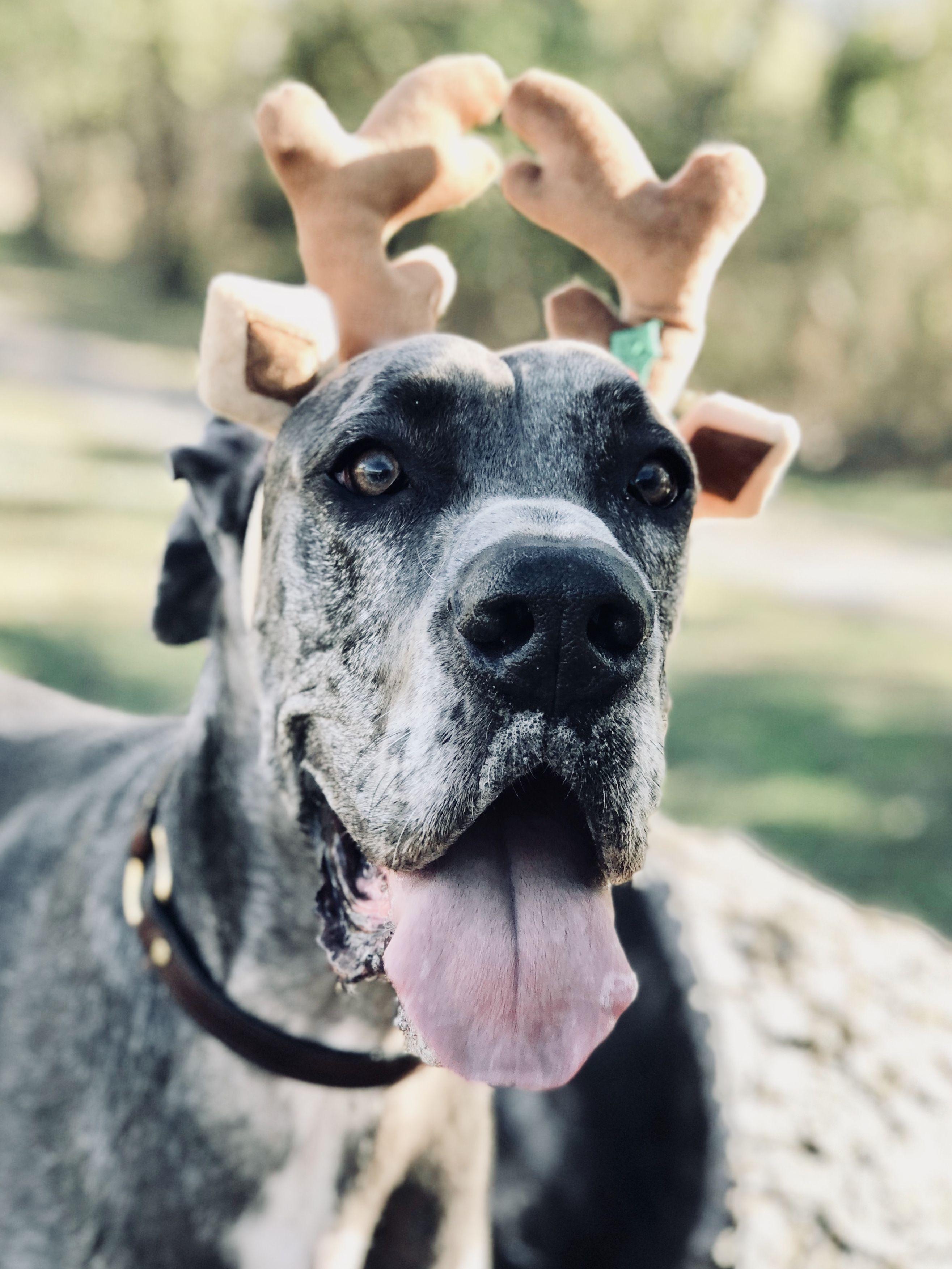 Christmas Great Dane Great Danes Dogs Pitbulls Animals