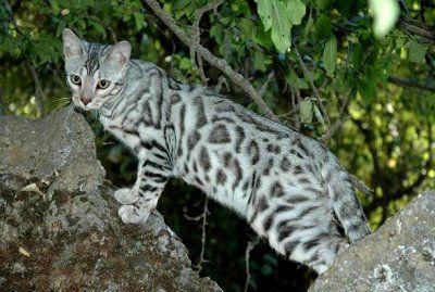 Los Angeles Dog Food Silver Bengal Cat Bengal Cat Bengal Kitten