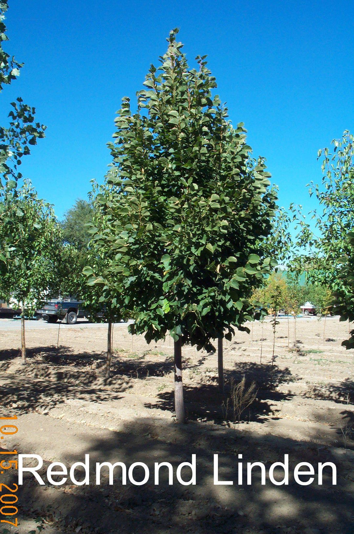 Redmond Linden tree is a pyramidal tree of a light to medium green ...