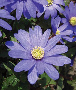 Anemone Blanda Blue Shades Bulb Flowers Shade Perennials Flowers Perennials