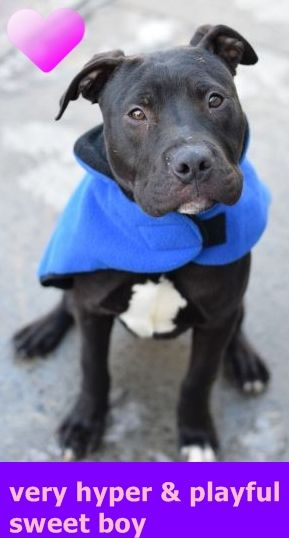 SAFE 2-14-2016 --- Brooklyn Center JON – A1064289  MALE, BLACK, PIT BULL MIX, 7 mos STRAY – EVALUATE, HOLD FOR ARRESTED Reason OWN ARREST Intake condition UNSPECIFIE Intake Date 02/03/2016 http://nycdogs.urgentpodr.org/jon-a1064289/