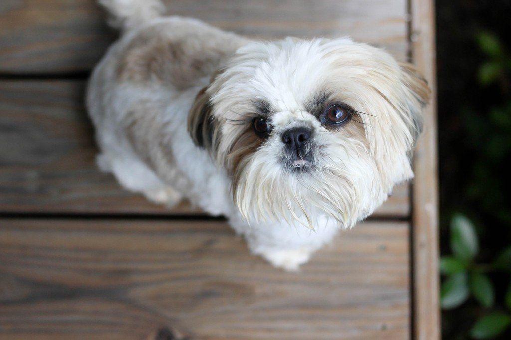 Shih Tzu Health Issues Shih Tzu Dogs Best Dog Food