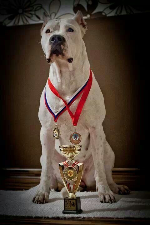 Dogo Argentino Champion Dog Argentino War Dogs Dogs