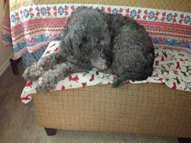 petSANT.A497456 Grey labrador, Pets