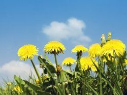 Making Dandelion wine is something that has been done throughout history. Naturally, this means that many different recipes and techniques have...