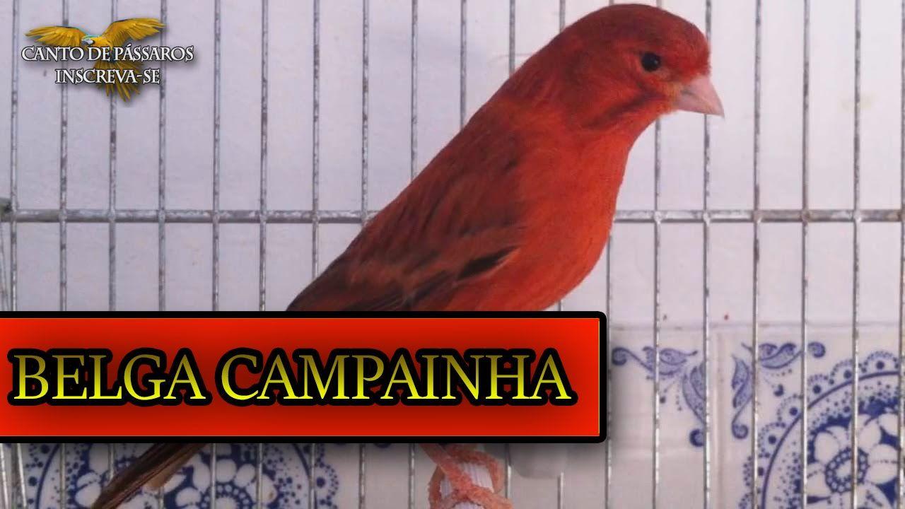 CANTADOR BAIXAR BELGA CANARIO