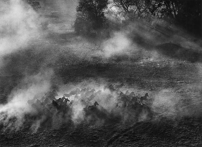 Sebastião Salgado   Okavange Delta, Zebras into the brush, Botswana 2007 - Exhibitions - Peter Fetterman