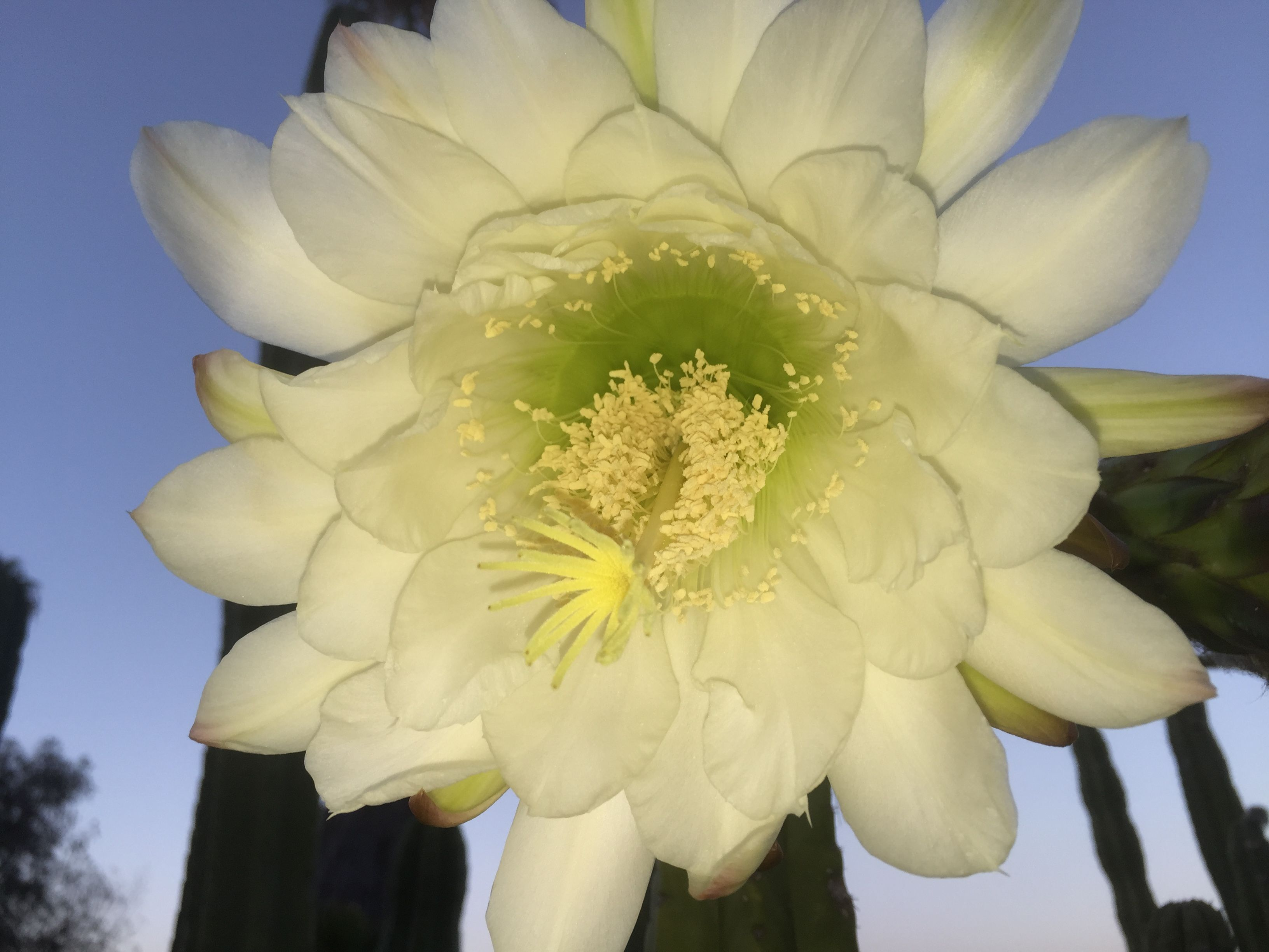 Cactus flower, blooms every few years
