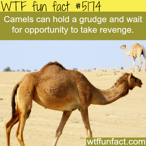 Fact- : Camels - WTF fun facts www.letstfact.com   Mind blown ...
