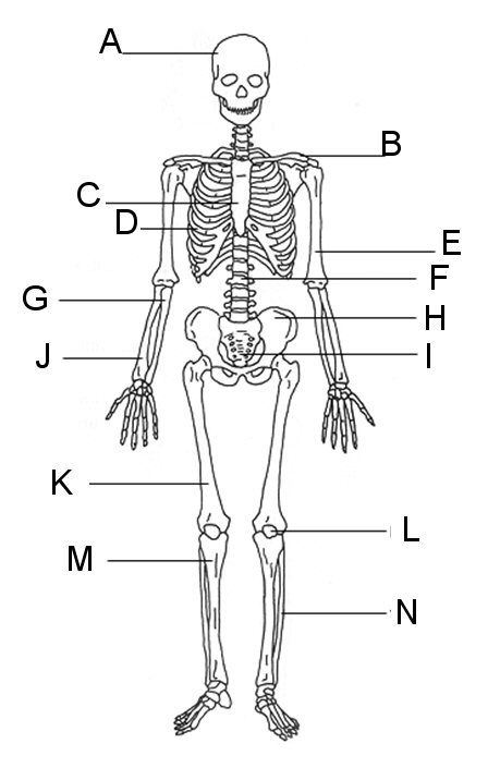 Pin By Gina Lisa On Anatomy Human Skeleton Human Anatomy Skeletal System