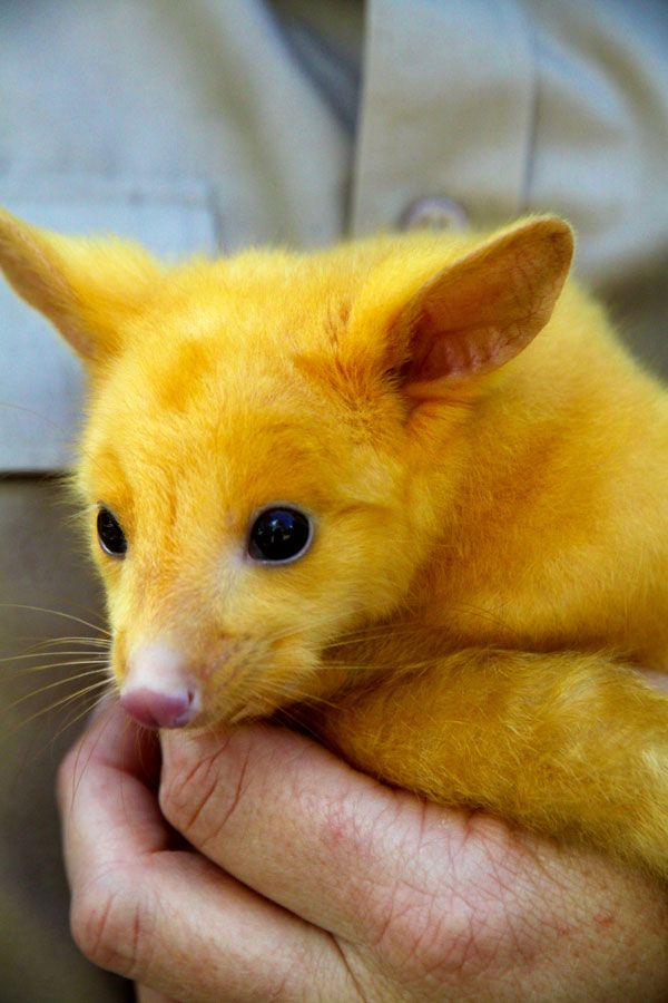 adorable golden brushtail possum - 600×900