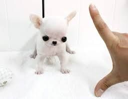 Teacup Chihuahuas For Sale Teacup Chihuahua Pomsky Dog Pomsky