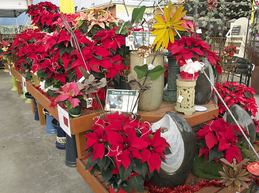 Our Edgerton location has been busy growing our incredibly beautiful poinsettias for the holiday season. Stop by our Cottage Grove greenhouse or Edgerton Floral & Garden Center and pick some up for your family, friends, and of course, for yourself! They also make a perfect Hostess Gift!
