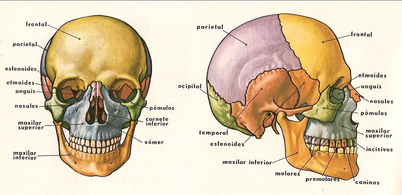 Dibujo Huesos Craneo | Anatomía en 2018 | Pinterest | Huesos craneo ...