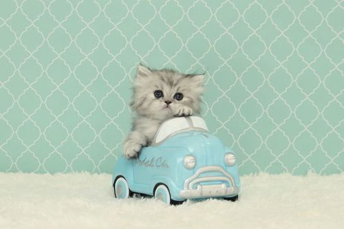 Kitten transport