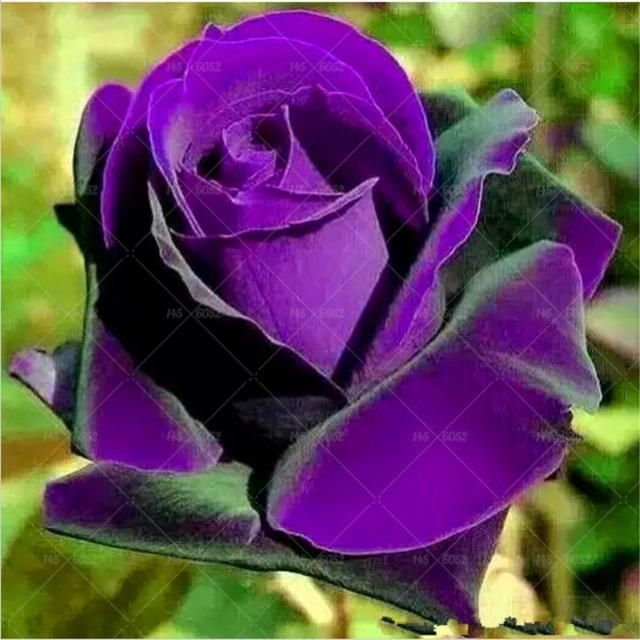 100PCS Flower Seed Holland Rose Seed Lover Gift Black Green Rainbow RARE A variety of Color To Choose DIY Home Gardening Flower