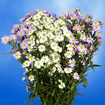 These Heavenly and Magnificent <strong>Assorted Color Asters</strong> are the perfect way to express your affection! These flowers will fill any space with beauty and ellegance.