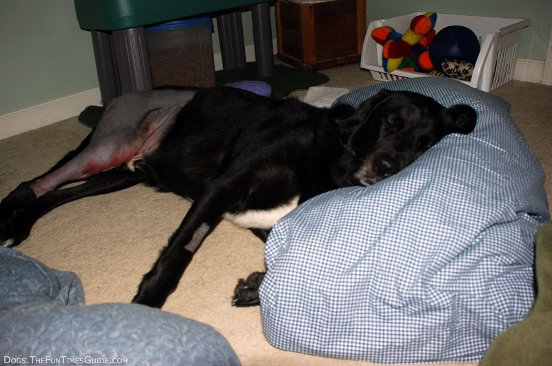 TPLO Recovery What You And Your Dog Can Expect Your dog