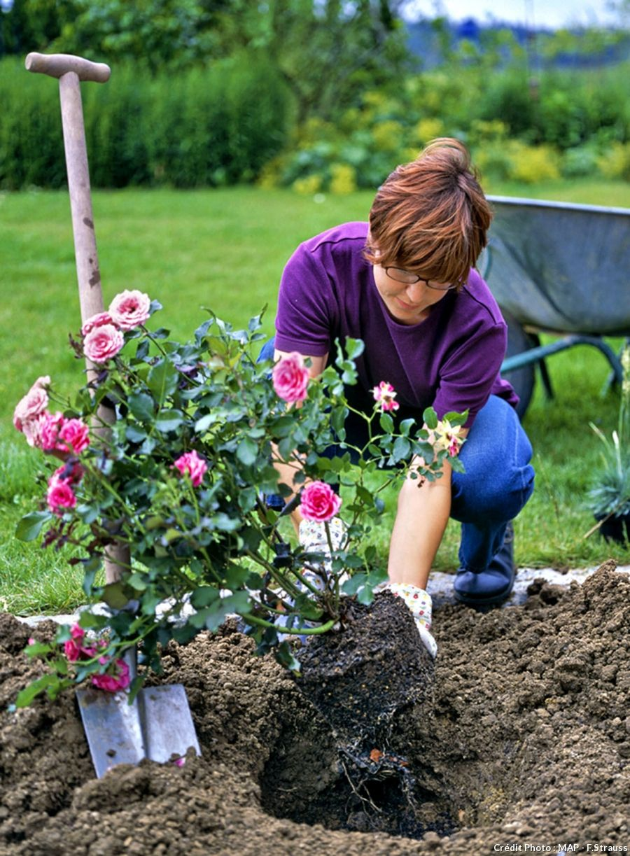Comment planter et entretenir un rosier en pot afin de
