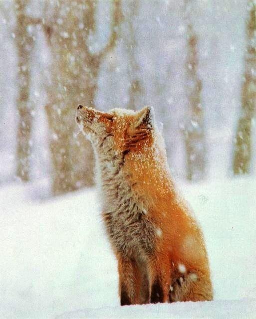 A fox enjoying the snow