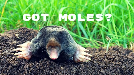 How To Get Rid Of Moles Mole Moles In Yard Getting Rid Of Gophers
