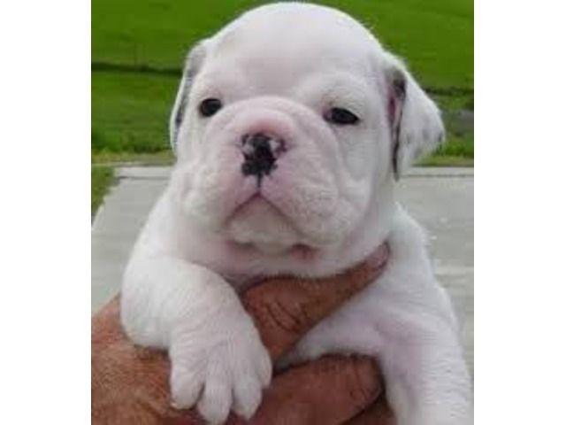 English Bulldog Puppies Available Puppy adoption