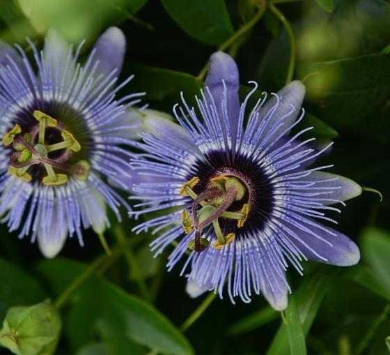 Passiflora Thuraia 4 Pot Blue Bouquet Passion Flower Flowering Vines