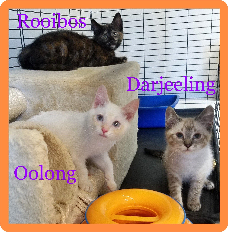 Adopt Rooibos Oolong Darjeeling On Petfinder In 2020 Cat Adoption Help Homeless Pets Rooibos