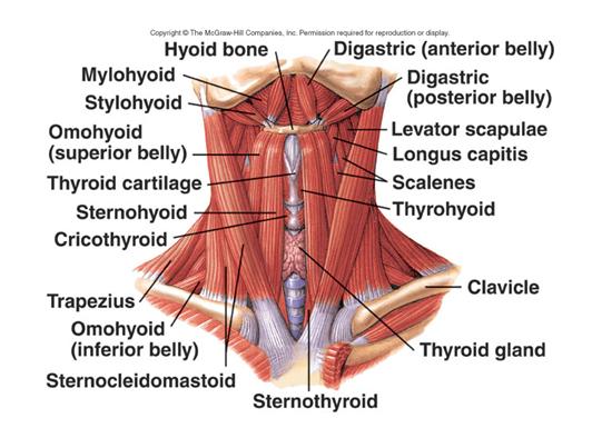 Extrinsic Laryngeal Muscles | Speech Pathology Tons of Info