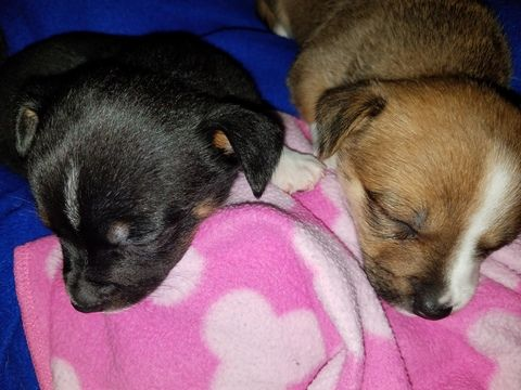 Chihuahua Puppy For Sale In Arlington Tx Adn 24556 On