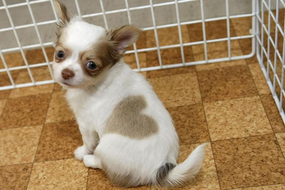 Chihuahua Puppy Born With A Perfect Heart Shaped Marking Follow