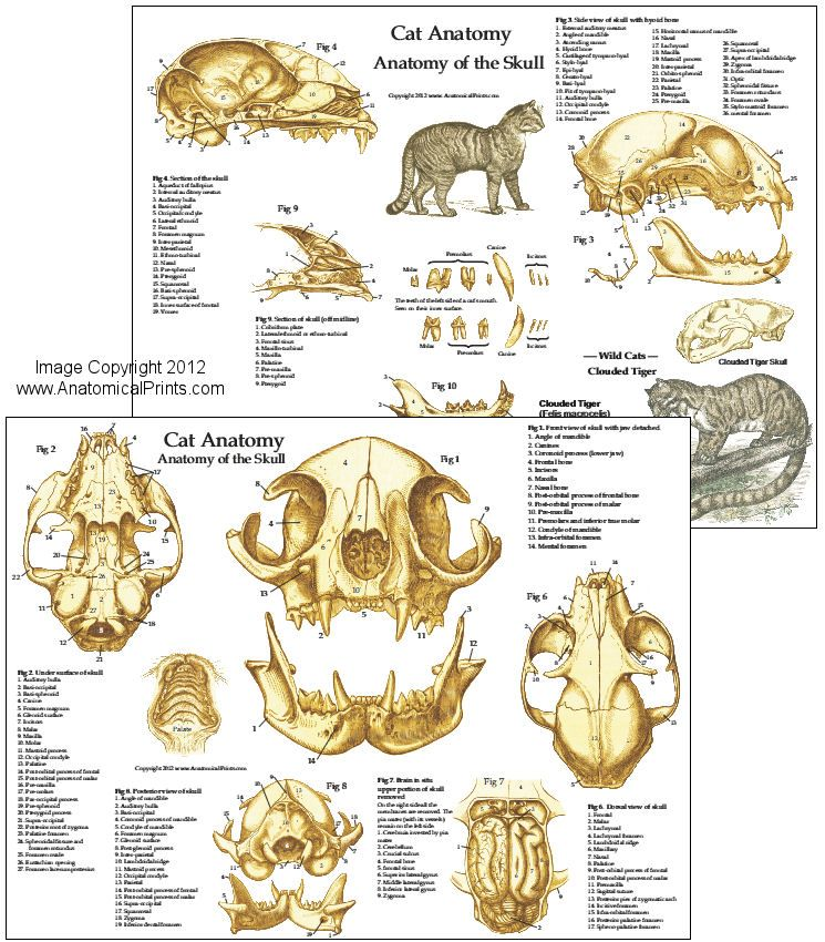 Modern House Cat Anatomy Image Collection - Human Anatomy Images ...