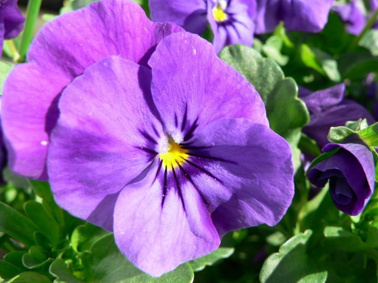 Purple Pansy Flower Pansies Flowers Pansies Flowers