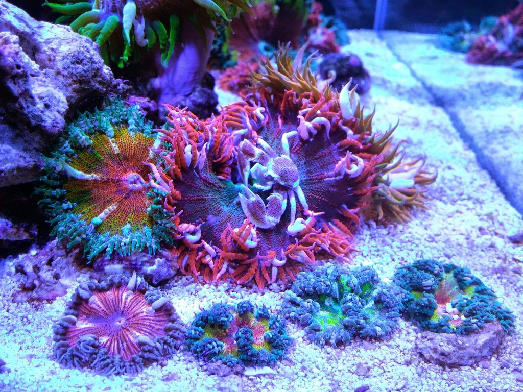 Rock Flower Anemone Hosting Porcelain Crab Saltwater Fish Tanks Marine Fish Tanks Beautiful Sea Creatures