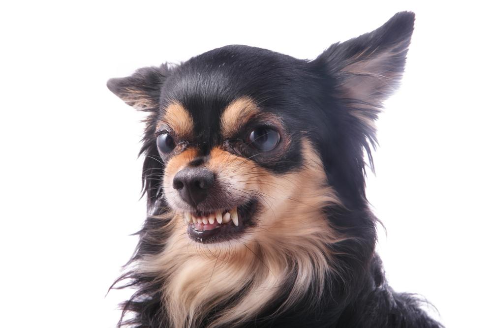 Angry Chihuahua Dog Growls Scraggles Dog Growling Australian Dog Breeds Chihuahua Dogs