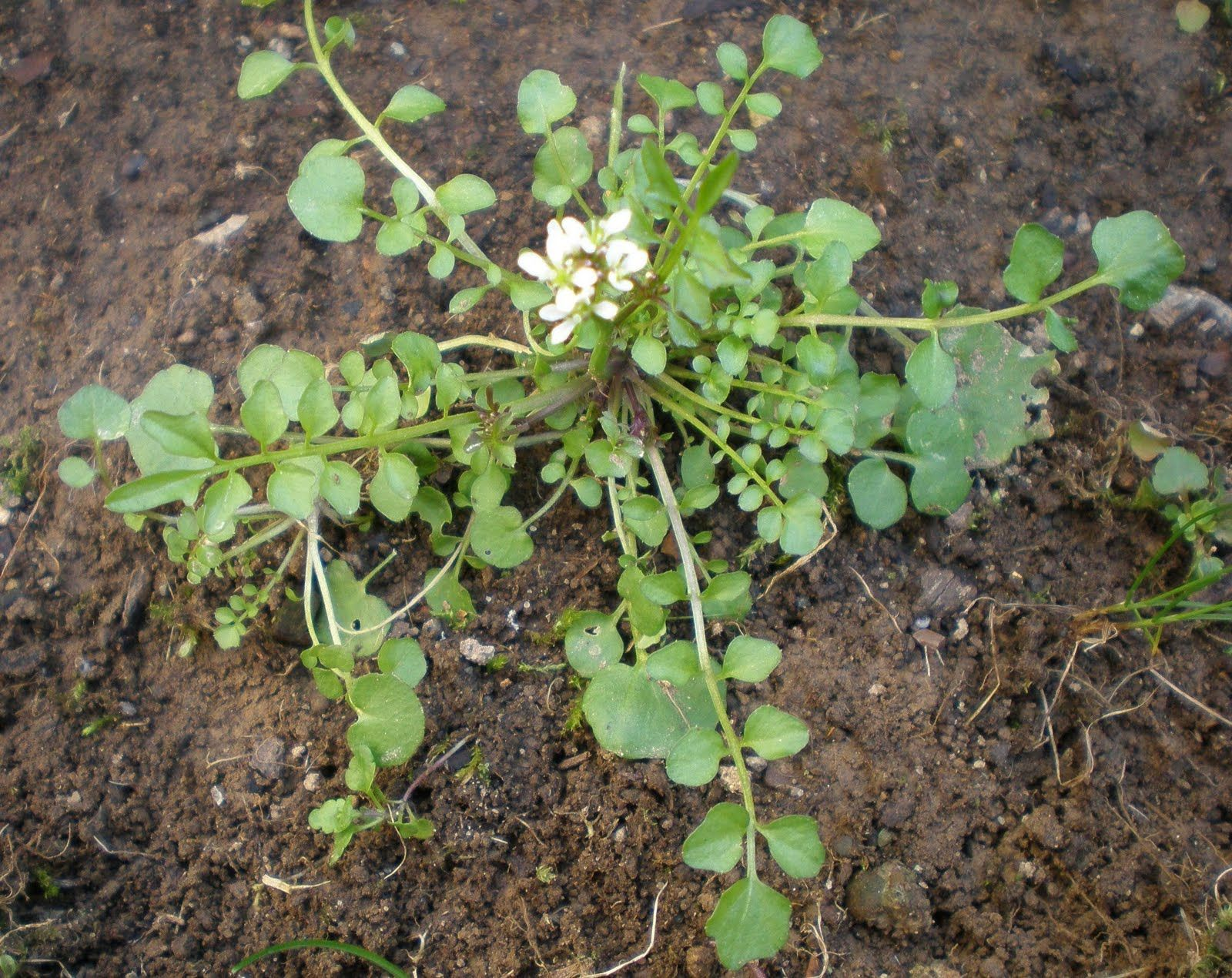 Weeds in flower beds identify - Gardens