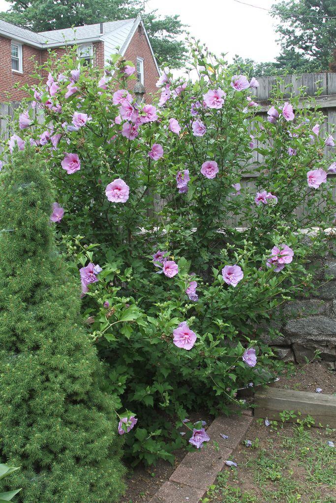 Rose Of Sharon Pruning How And When To Prune Rose Of Sharon Rose Of Sharon Bush Beautiful Flowers Garden Urban Garden