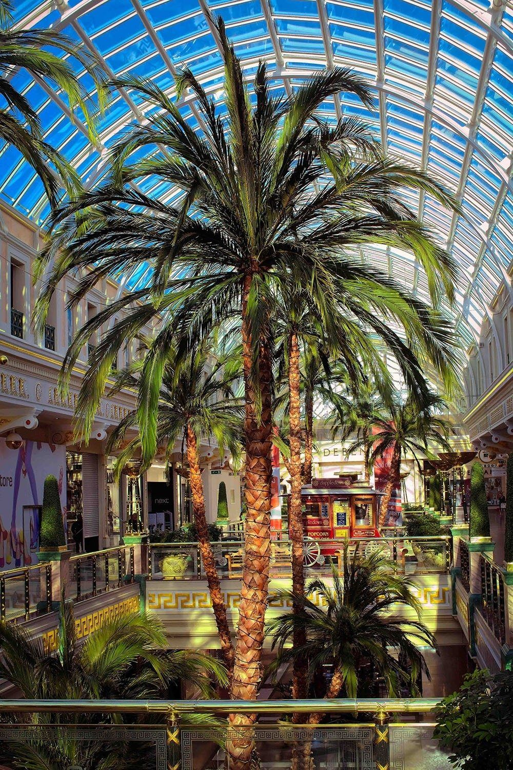 Preserved Giant Date Palm Tree at Trafford Centre Mall in
