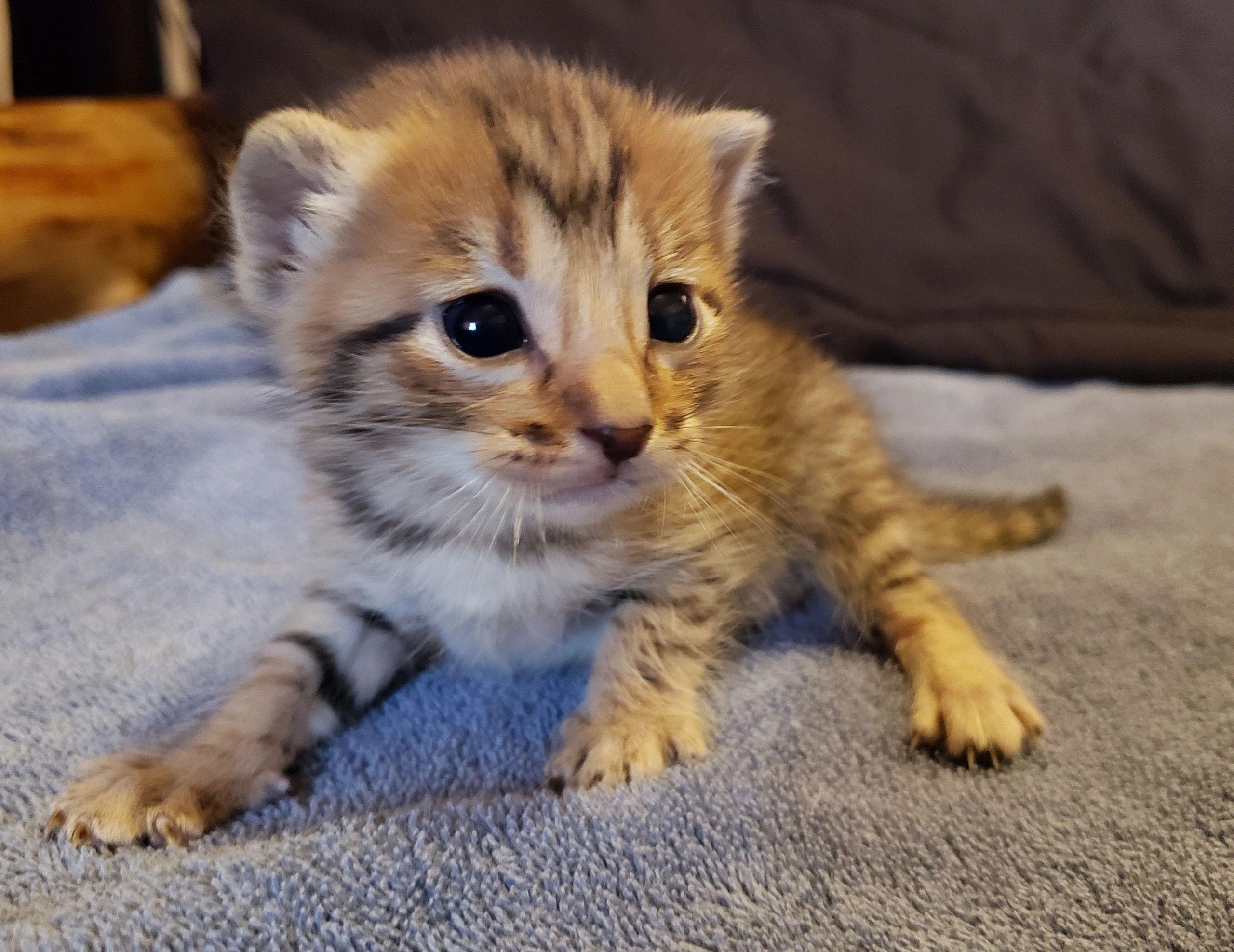 Savannah Kitten In 2020 Savannah Kitten Savannah Cat Savannah