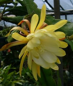 Yellow Orchid Cactus Epiphyllum Yellow Orchid Cactus Yellow Orchid Fragrant Plant