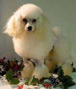 Little Pawz Toy Poodle Poodle Small Poodle Dogs Puppies