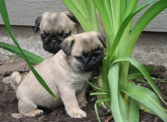 Happy Birthday Canada With Images Cute Pug Puppies Pugs Funny