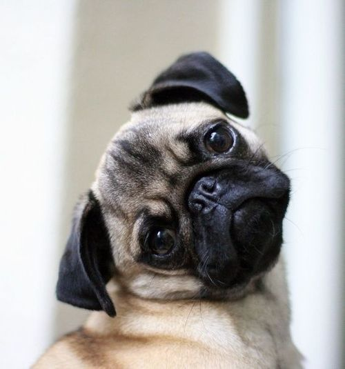 Most popular tags for this image include: dog, cute, pug, puppy and animal