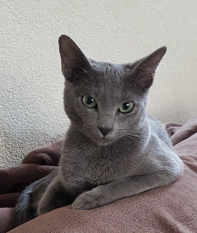 Russianbluecat Russian Blue Russian Blue Cat Cats And Kittens