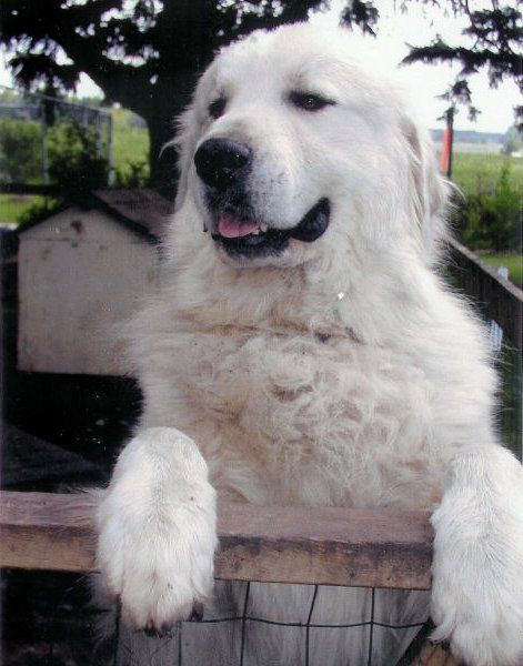 Great Pyrenees stud. | Best guard dogs