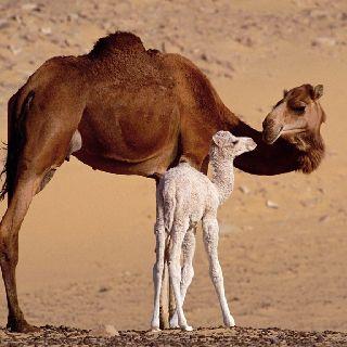 Dromedary Camel Arabian Camels Have 1 Hump Capital D Turned Sideways Has Bactrian 2 Humps
