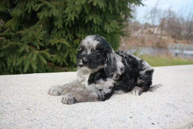 Another Gorgeous Mini Merle Golden Doodle Da Was A Blue Merle Mini Poodle Mom Was A Small Golden Retriever Goldendoodle Puppy Goldendoodle Mini Poodles