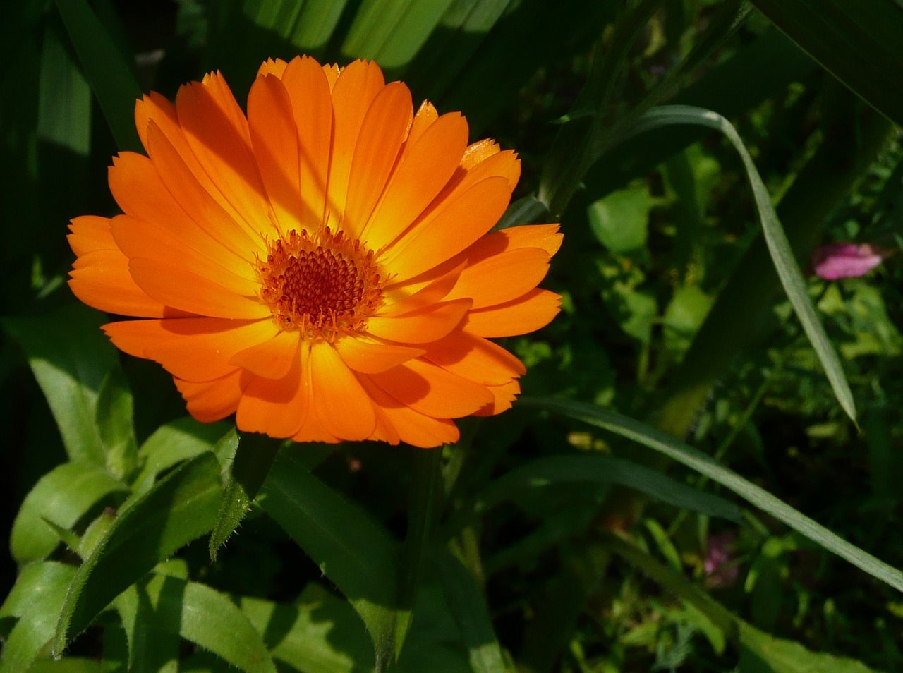 Get your calendula seeds here