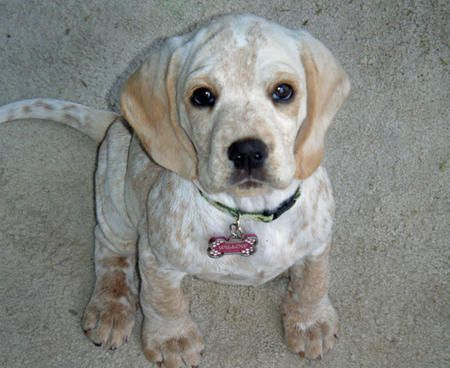 Cocker Spaniel Mix I Want One With Images Cocker Spaniel